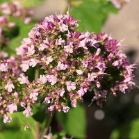 Marjoram Featured Ingredient - L'Occitane