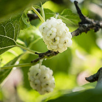 Mulberry Featured Ingredient - L'Occitane