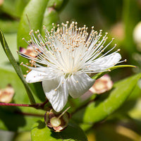 Myrtle Featured Ingredient - L'Occitane