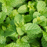 Refreshing_Agents_Mint Featured Ingredient - L'Occitane