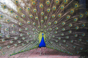 A peacock opens it's impressively sized and patterned plumage as part of a courtship ritual to attract a mate in Narrabundah. 21 September 2015