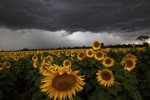 A thunderstorm passes over a field of sunflowers near Gilgandra in the central west of NSW. 19 December 2011