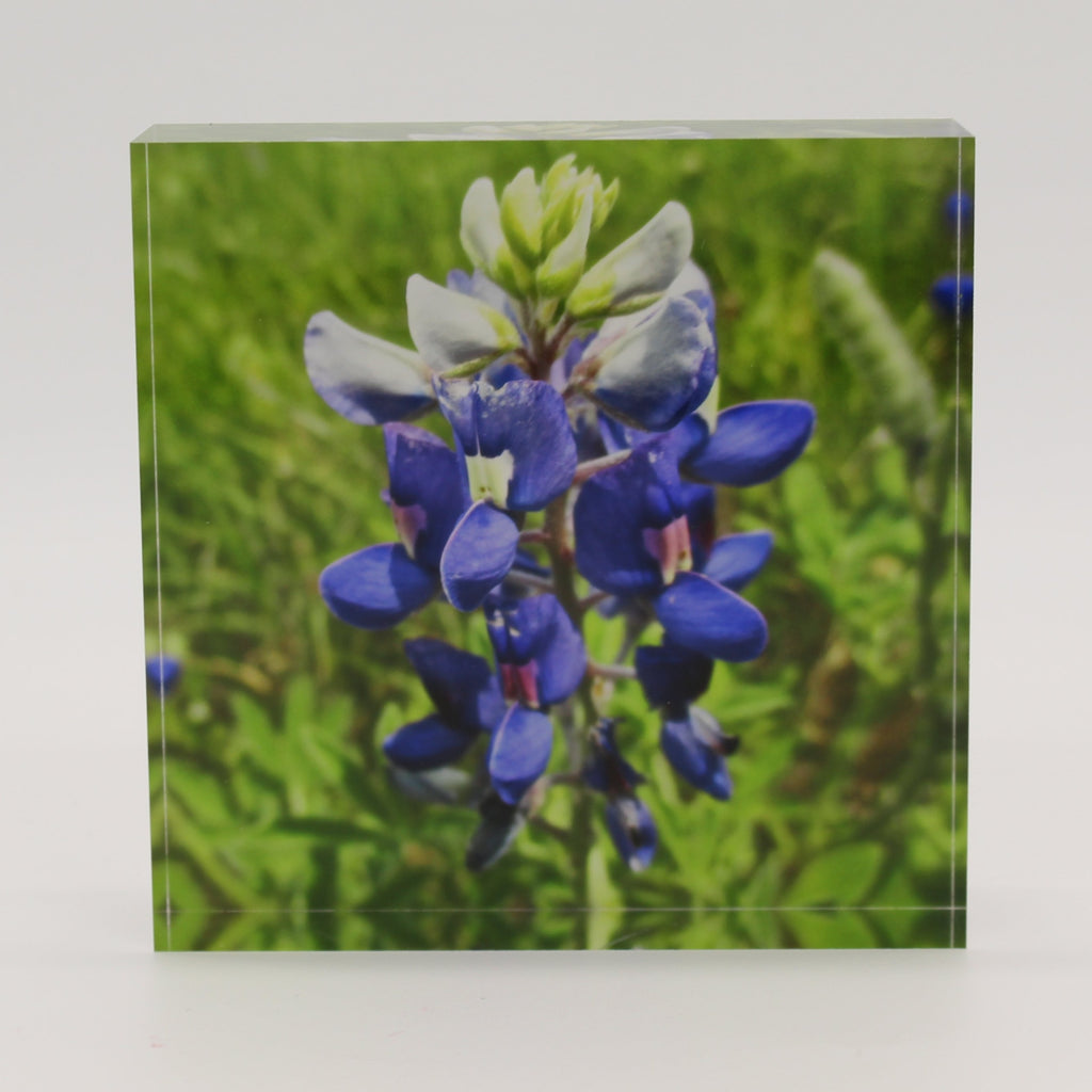 Acrylic block picture of bluebonnet flower in green field