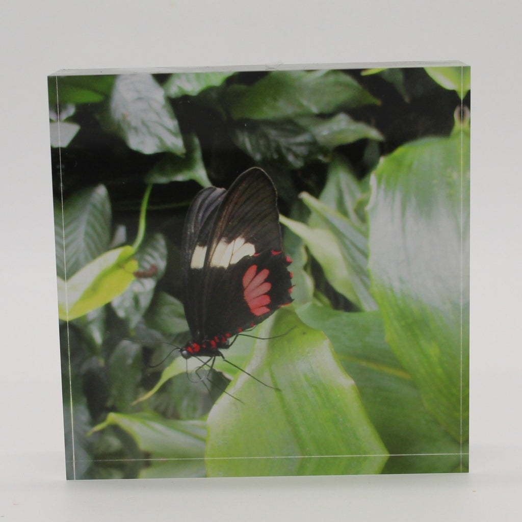 Acrylic block picture of black, red and white butterfly