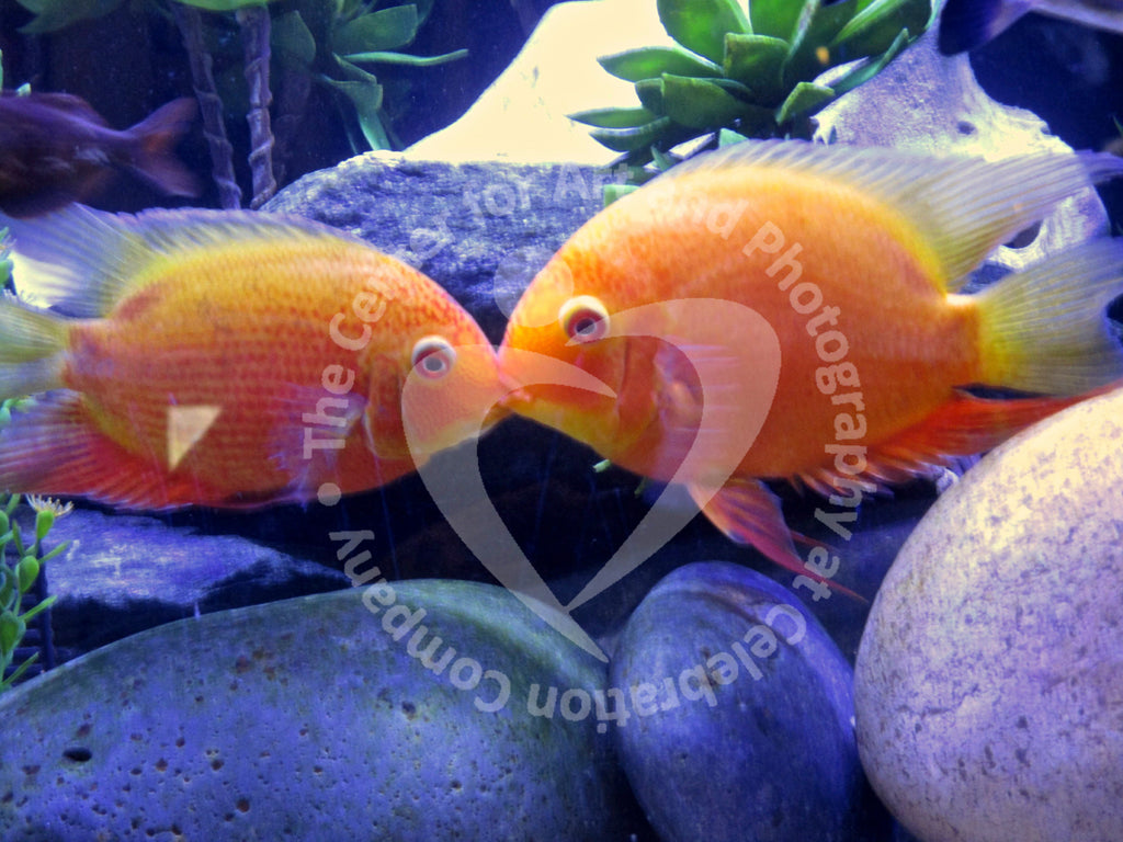 Two kissing orange fish with blue rocks in the background