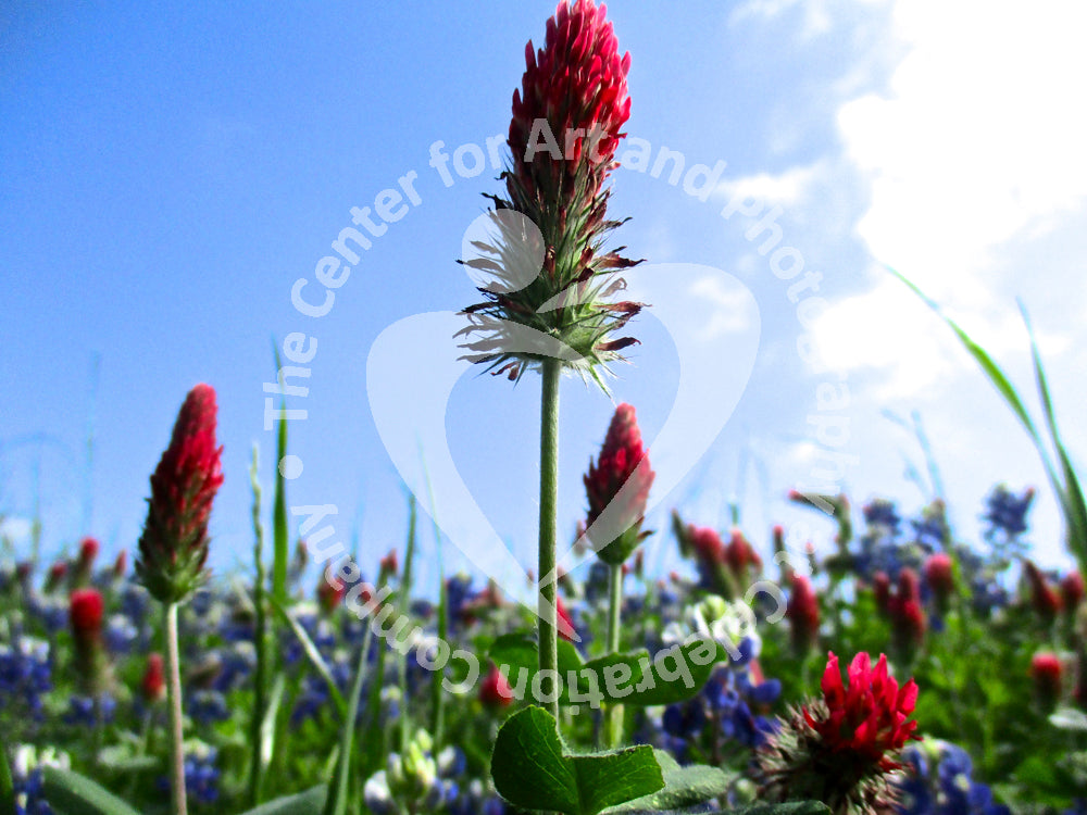 Red Indian paintbrush flowers and bluebonnets in a green field