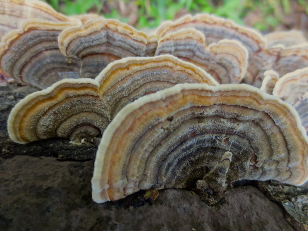 Against a blurred background of green plants and atop what looks like a gray log are several fan-like shapes with wavy edges. The shapes feature concentric half-rings in tints of purplish gray, beige, brown, yellow, and white. A gray stem extends from the one in front, If you imagine that the stem could be the body of a bird, the fan shape could be the tail feathers of a turkey.