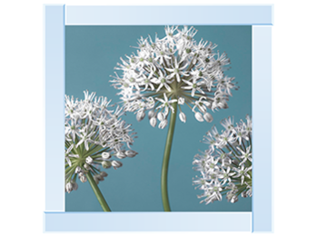 Three Alliums