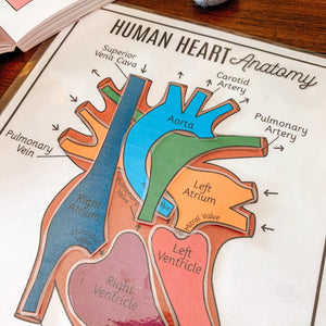 Human Heart Anatomy Printable Activity & Vocabulary - Arrows And Applesauce