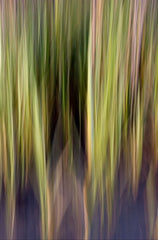 Marsh Reeds #36530- John Duckworth