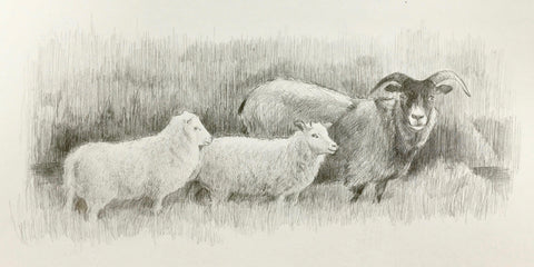 Icelandic Sheep - Lisa Gleim