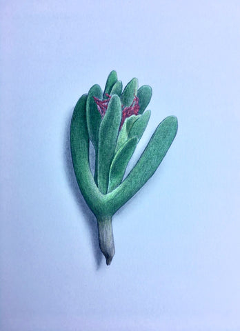 Succulent Study 2 - Richard Bowers