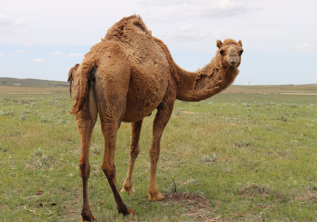funny camel on the farm in the USA