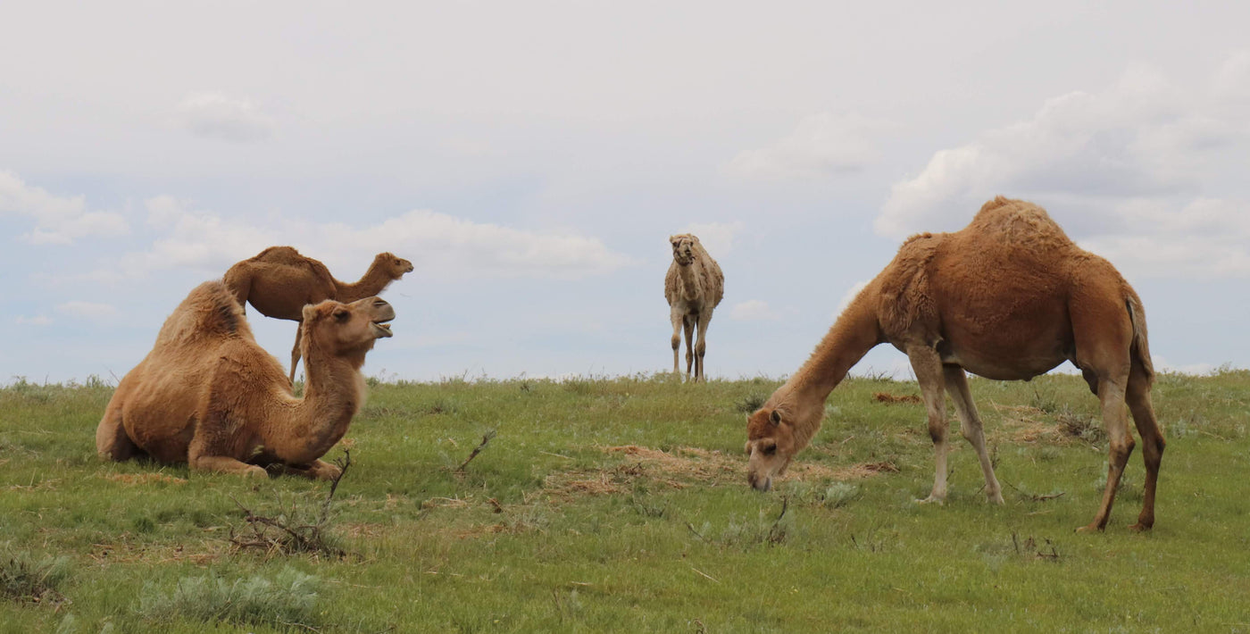 Our grass fed herd of camels roaming the pasture of our US camel dairy farm.
