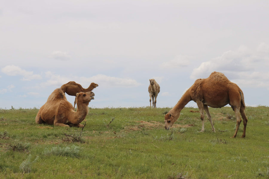 Our pasture raised camels eating organic feed on our camel dairy farm.
