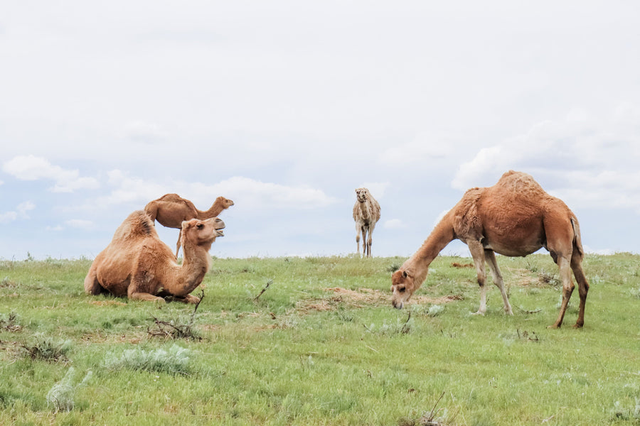 grass-fed camels from our camel dairy farm.
