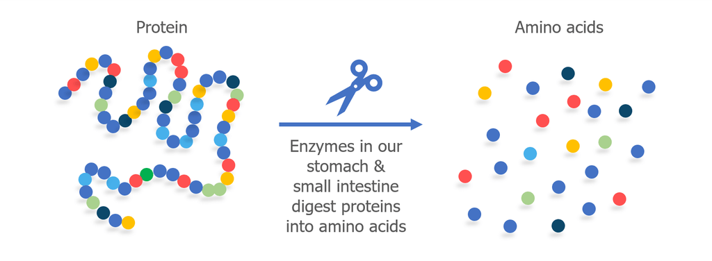 protein and amino acid infographic
