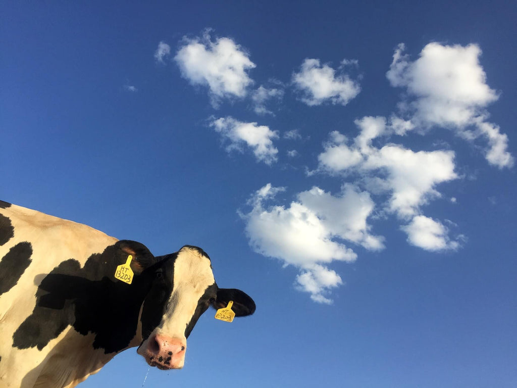 cow milk give people who are lactose intolerant a negative reactions