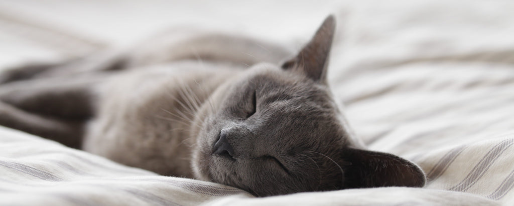 grey cat sleeping peacefully