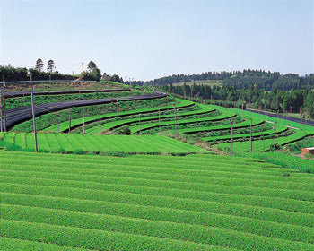 Terraced tea fields of Kagoshima Prefecture. The gray poles in the photo have small fans at the top which eliminate frost.