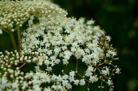 Elderflower, Karnak Farm garden