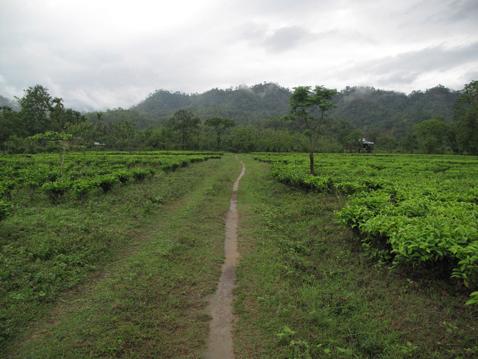 Assam Kachibari Village black tea garden II