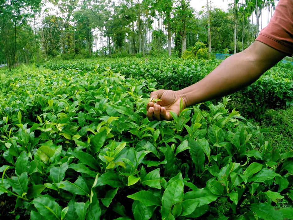 Assam Kachibari Village black tea garden