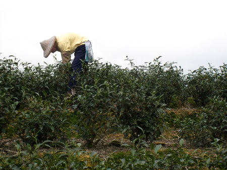 Bao Chong Oolong Tea Farmer