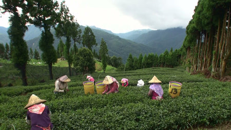 Spring Fortune Oolong Tea tea picking