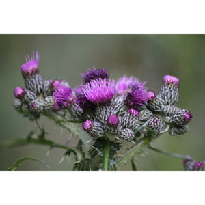 Milk Thistle Sticks