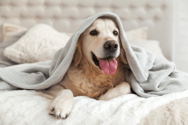 golden retriever dog sleeping on the bed underneath blanket
