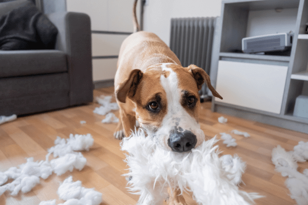 Dog destroying the couch