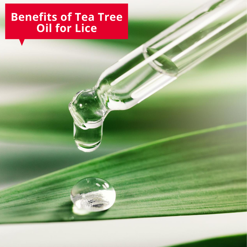 blog/benefits-of-tea-tree-oil-for-lice