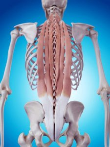 Erector spinae - deep muscles of the back