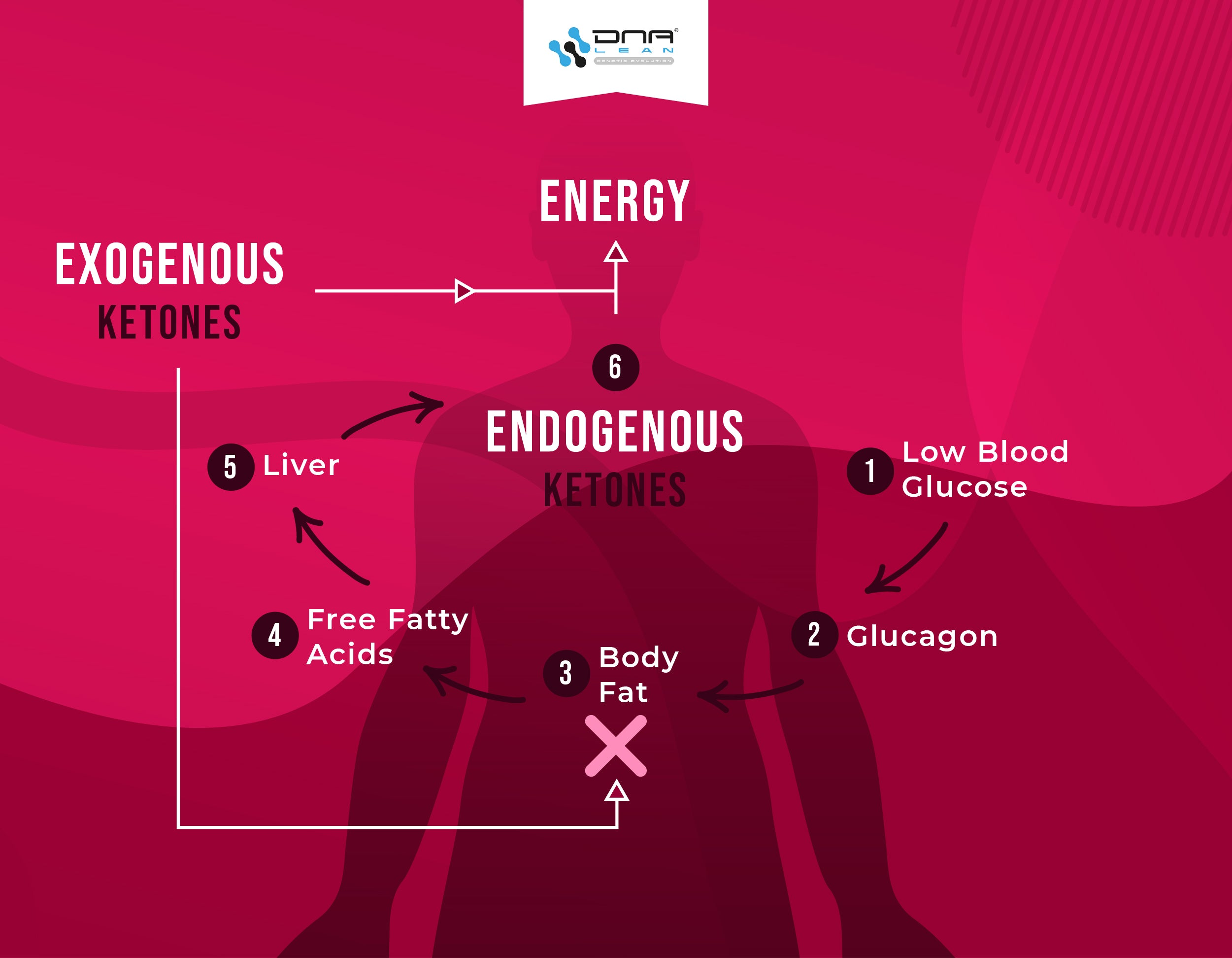 Exogenous ketones create a negative feedback cycle and inhibit fat degredation