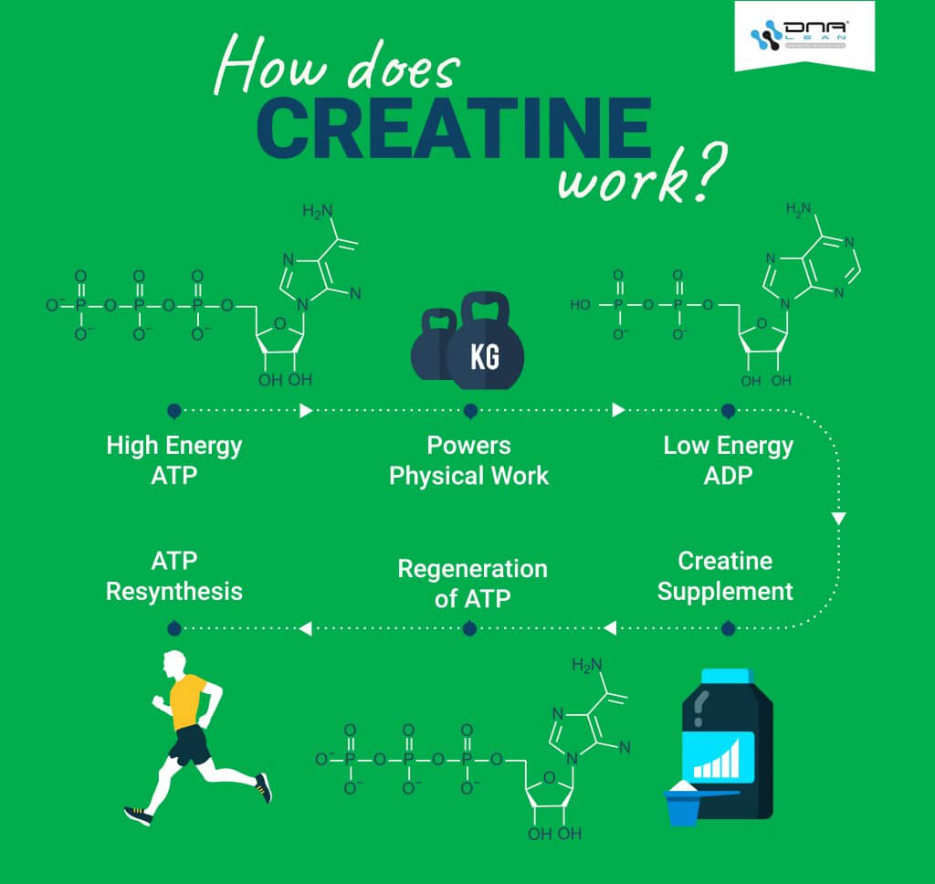 How Does Creatine Work? Infographic