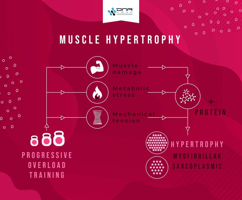 Muscle hypertrophy is mediated by muscle damage, metabolic stress, and mechanical tension.