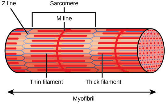 Myofibril cross section denoting the sarcomere