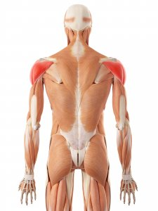 Rear deltoid muscles of the back and ahoulder