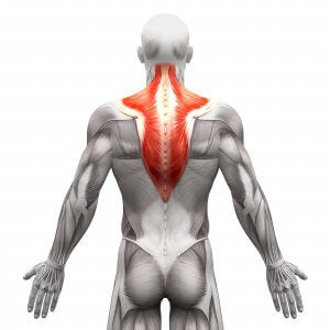 Trapeziues muscles of the back