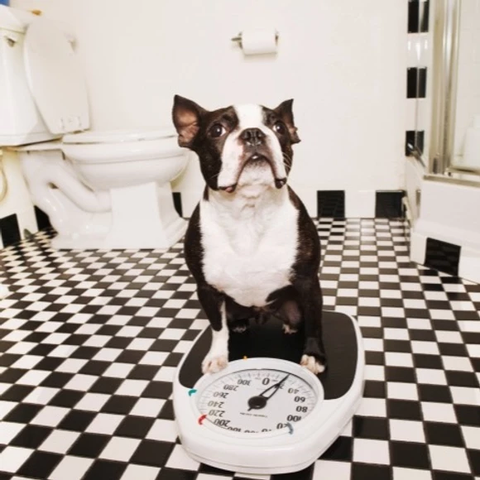 Boston terrier dog standing on scale