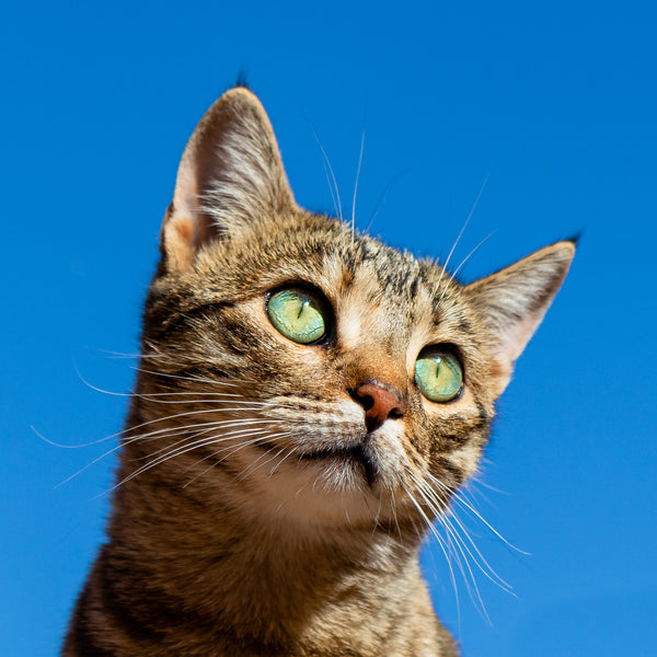 Cat staring into sky.