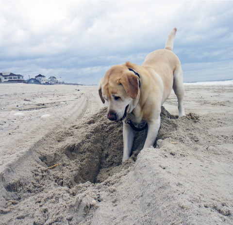 yellow Labrador retriever digging in the sand on the beach