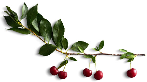 branche de cerisier griottier sour cherry tree