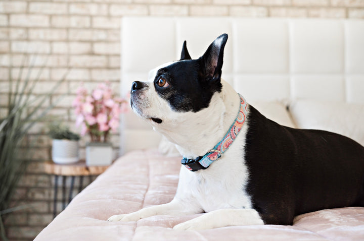 Persnickety Pets: Bella wears a sunburst classic dog collar, Photography by Kim Smith