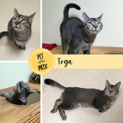 Persnickety Pets: Toga the cat, adoptable through ARF