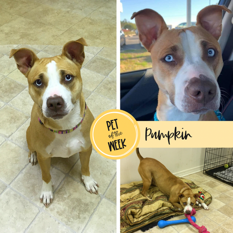 Persnickety Pets: Pet of the Week Pumpkin from ARF