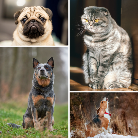 Persnickety Pets: popular dog and cat breeds