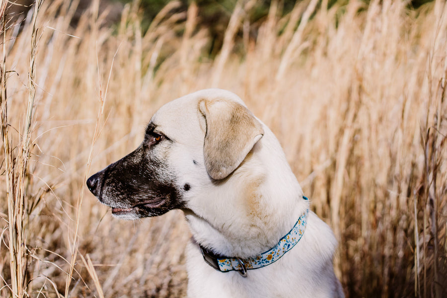 Persimmon Peak: Darla wearing a golden roses dog collar, Andrea Cacho Photography