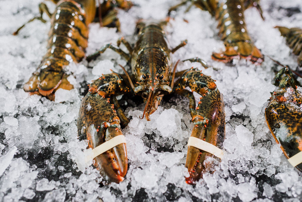 8 Live Select 1.5 - 2 lb Lobsters